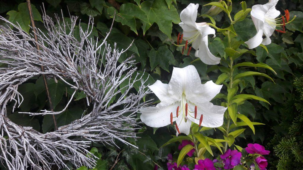 3 weisse Madonnenlilien-Blüten vor grüner Efeuwand mit Zweig-Kranz