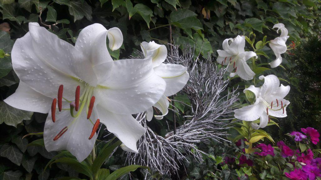 5 weisse Madonnenlilien-Blüten mit Zweig-Kranz vor grüner Efeuwand