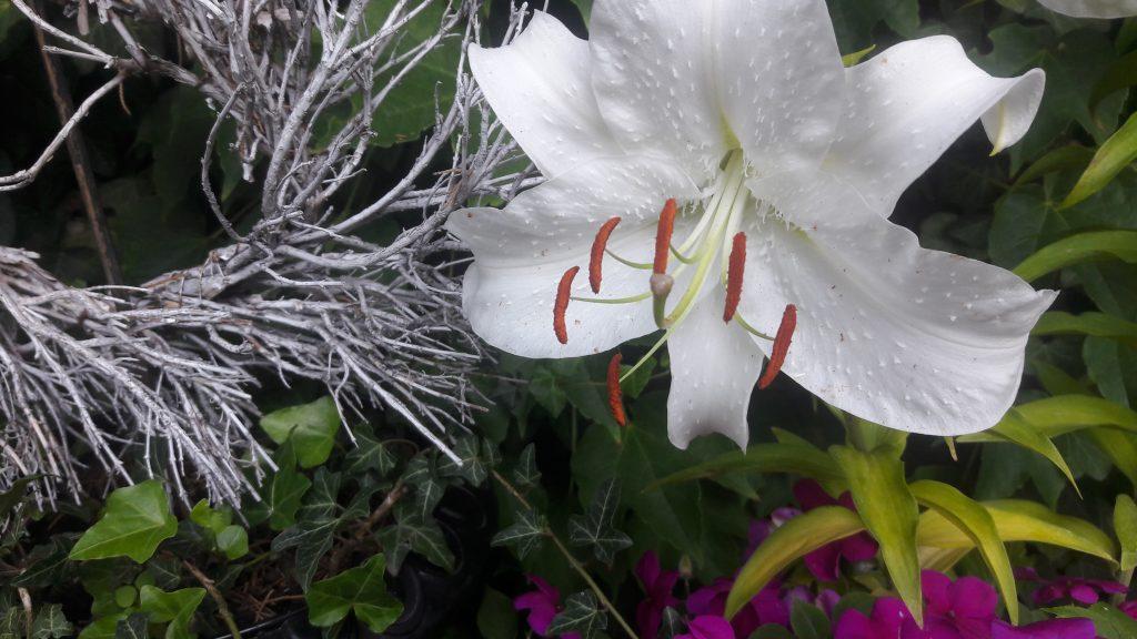 eine weisse Madonnenlilien-Blüte mit weissem Zweig-Kranz