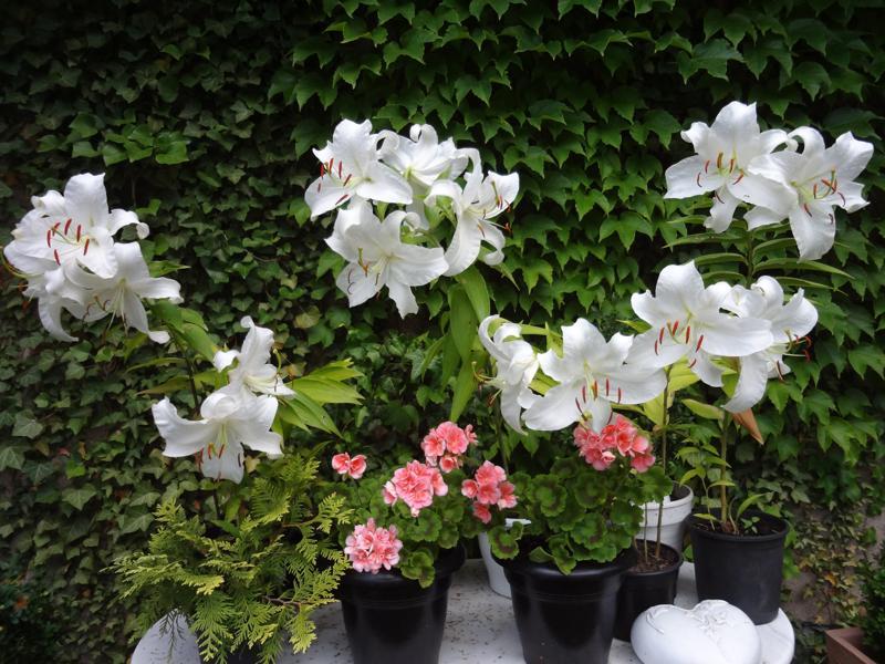 Viele weisse Madonnenlilien-Blüten und lachsfarbenen Pelargonien auf Marmortisch vor grüner Efeuwand
