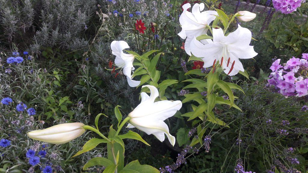 3 Madonnenlilien mit einigen geöffneten Blüten im sonnigen Blumenbeet