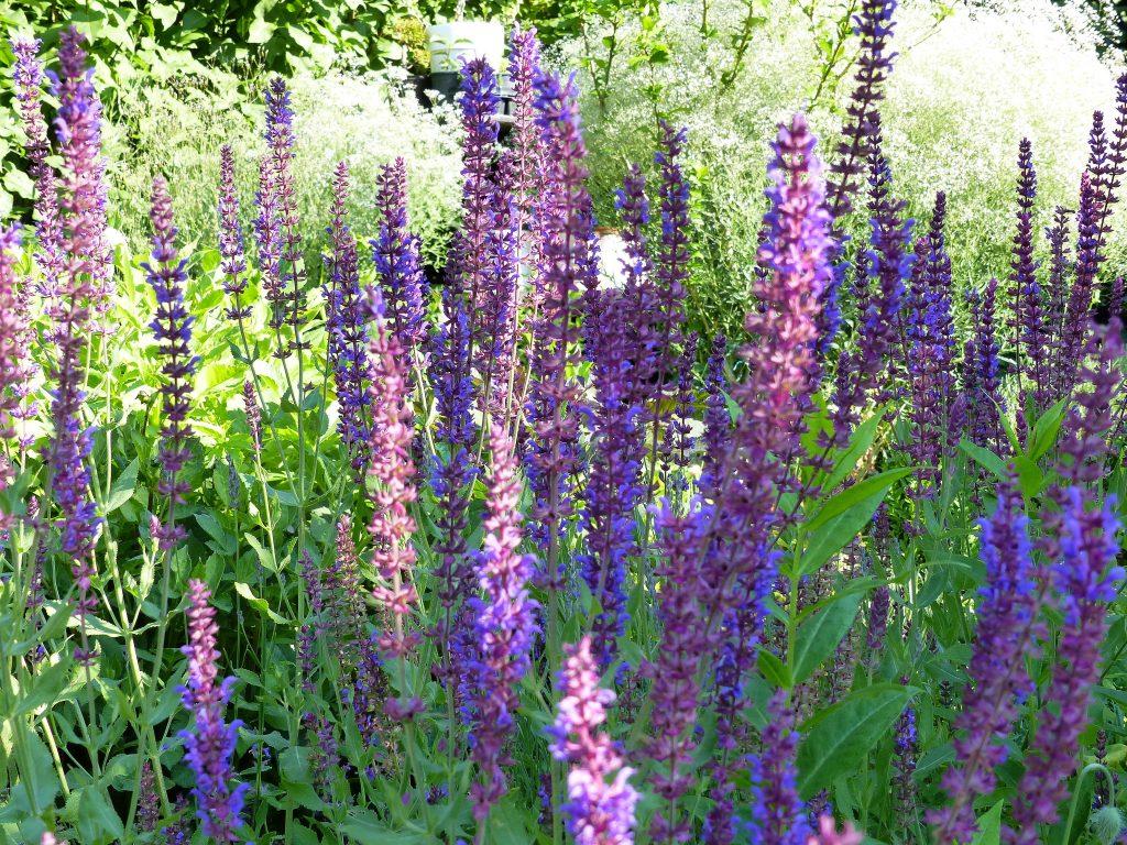 lila Sommersalbei im Garten-vor Schleierkraut