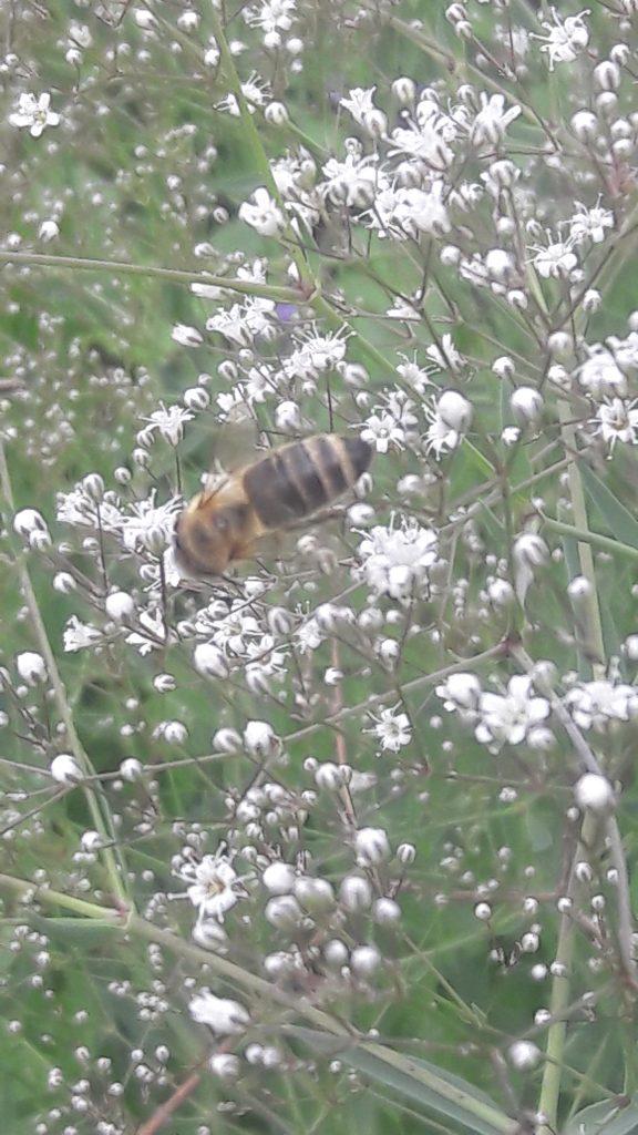 weiss blühendes Schleierkraut – mit Insekt