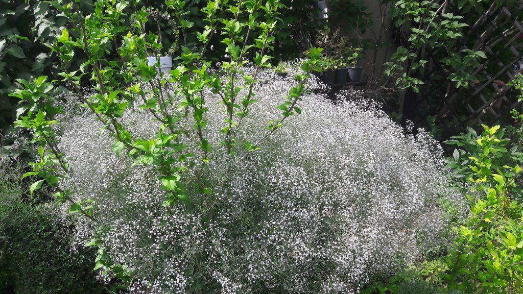 weiss blühendes Schleierkraut – eine große Staude mit Roseneibisch als Stütze